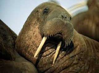 Amazing Pictures of Animals, photo, Nature, exotic, funny, incredibel, Zoo, Walrus,Odobenus rosmarus, Alex (4)