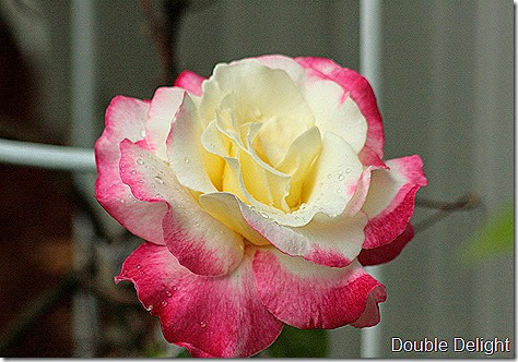 Rose_Double_Delight2