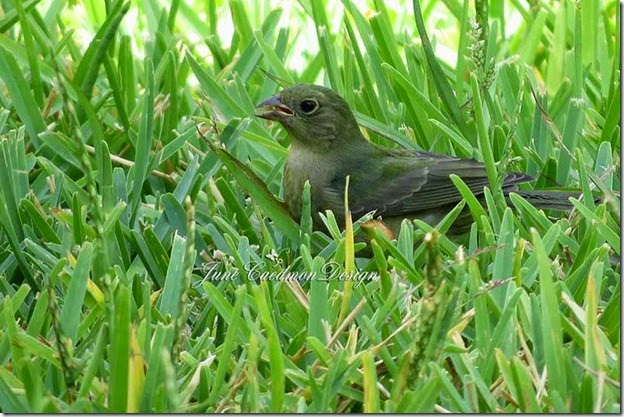 Female_Painted_Bunting2