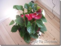 P5305757 blomst