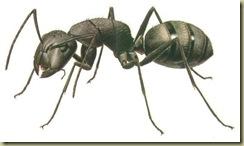 semut-hitam