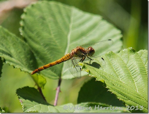 13-common-darter