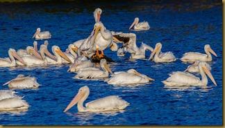LSU Pelicans