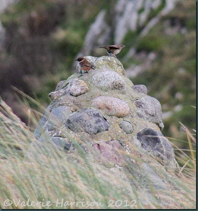 2-stonechat-and-dunnock