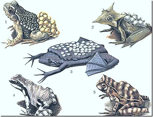 amphibia-parenteal-care