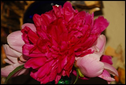 first peonies 4-11