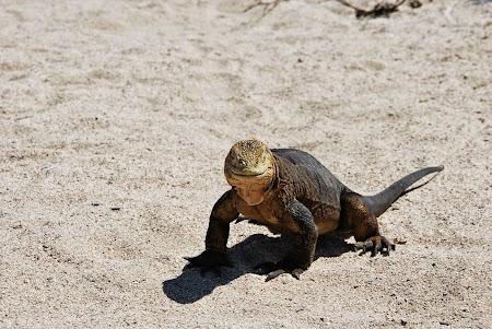 Imagini Galapagos: iguana marina