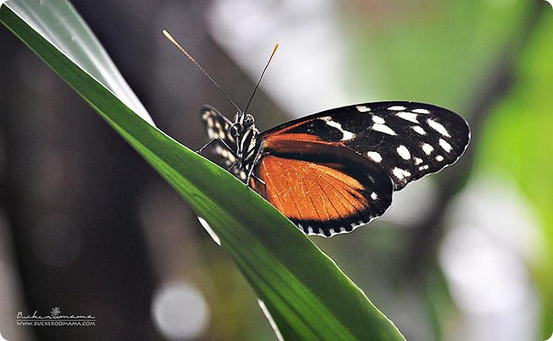 Butterfly-(1)