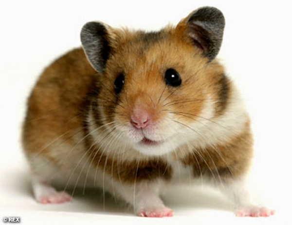 7- Hamster