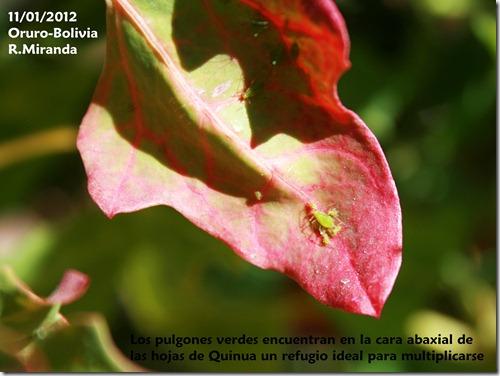 Pulgones verdes en el envéz de las hojas de Quinua-Rubén Miranda