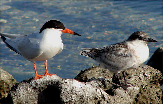 North American roseate tern (Sterna dougallii dougallii), a migratory coastal seabird, is threatened by rising sea levels caused by global warming. Photo: U.S. Fish and Wildlife Service