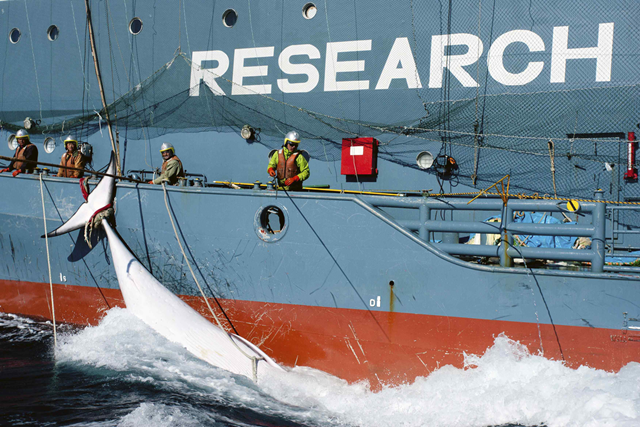 A whale tied to the side of Japanese Research vessel Yushin Maru No. 2 is dragged through the ocean in Mackenzie Bay, Antarctica, in this picture provided by Sea Shepherd Australia and taken 15 February 2013. Anti-whaling activists unsuccessfully tried to intervene in the transfer of the whale from a Japanese whaling vessel to another for more than nine hours. Photo: Sea Shepherd Australia