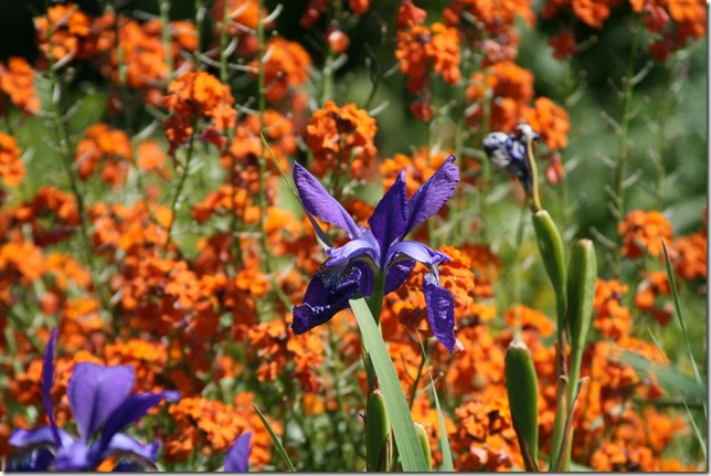 Iris and wallflower