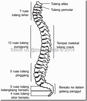 tulang belakang mansuia