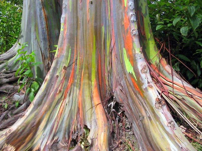 rainbow-eucalyptus-8