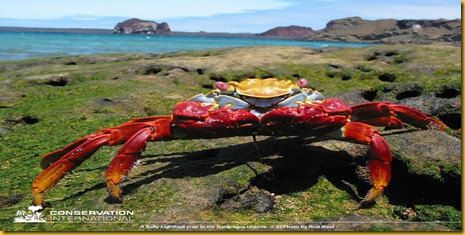 Foto Galapagos Granchio Rosso