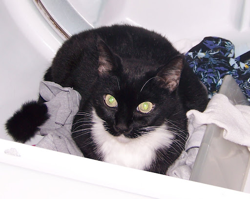 This is our cat Alli.  She is being an opportunist.  It is never a good idea to leave the dryer open if you have cats.