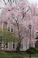 Adams St Tree