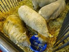 2015.02.26-018 mouton Southdown