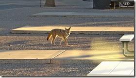 coyote etc 032