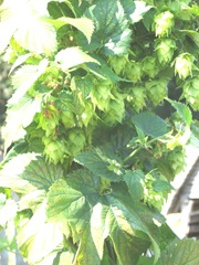 Plimoth Plant hops growing for brew