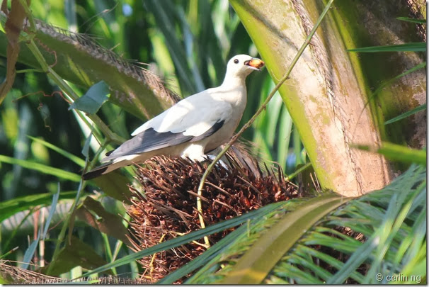 pied imperial pigeon on oil palm (2)
