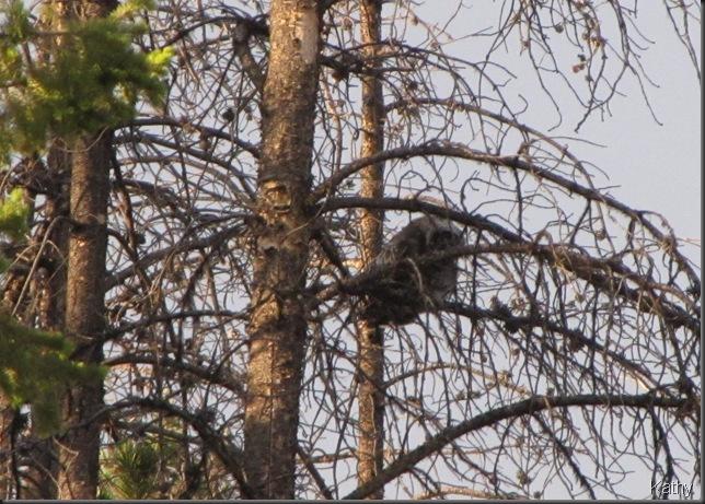 Great Gray Owlet