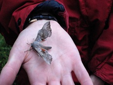 Poplar Hawk moth Devil's Dingle Moth Night 080711 028