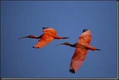 LL - scarlet ibis 2