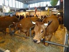 2015.02.26-055 vache tarentaise