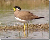 054 Yellow wattled Lapwing ( Parsan Titodi )