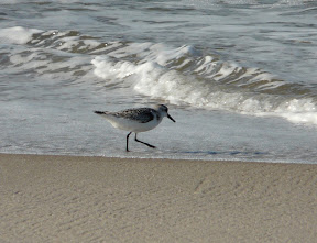 Another closer Sanderling