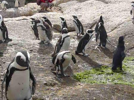 Colonie pinguini Africa de Sud