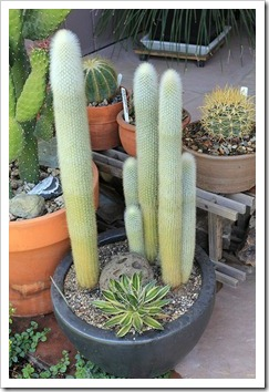 120704_Cleistocactus-straussii_08