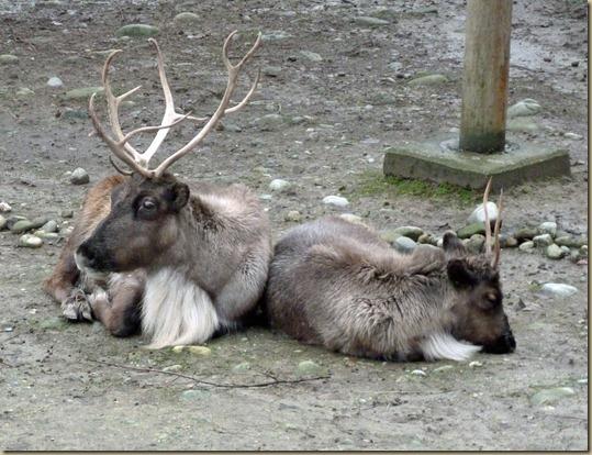 Reindeer Festival 3