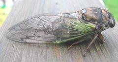 cicada bug3