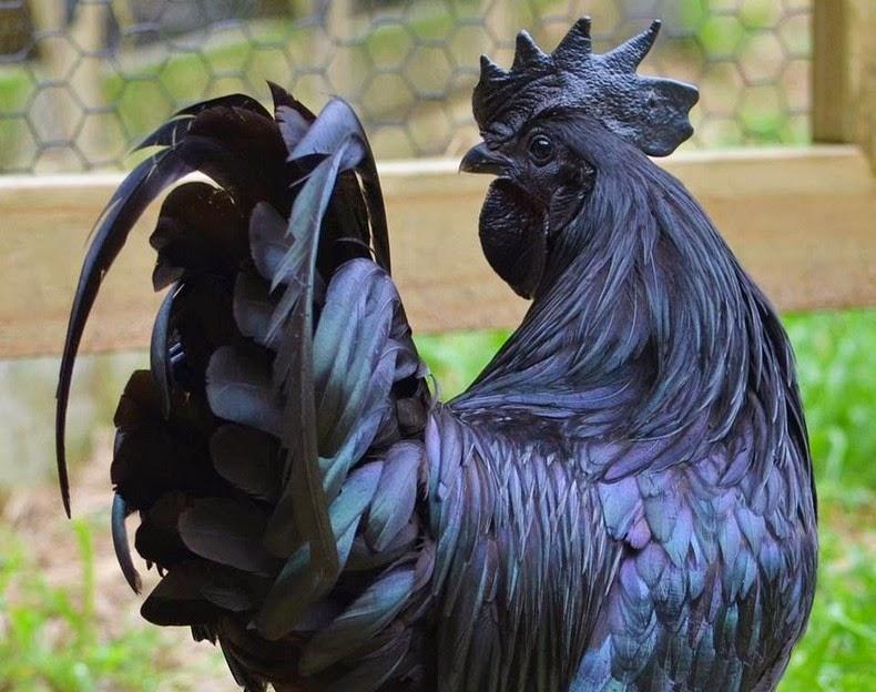 عمرك سمعت بدجاج لامبورغيني؟!ممكن تاكل لحم جاج اسود؟؟