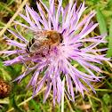 Centaurea & bee