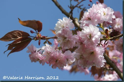cherry-blossom-2