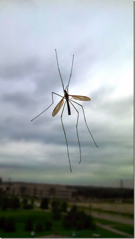 2014Sep09_Big_mosquito
