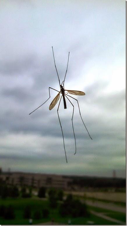 2014Sep09_Big_mosquito