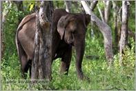 _P6A1683_wild_elephants_mudumalai_bandipur_sanctuary