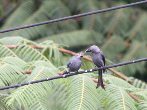 One hungry ashy drongo baby