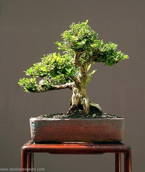bonsais arvores em miniatura desbaratinando (9)
