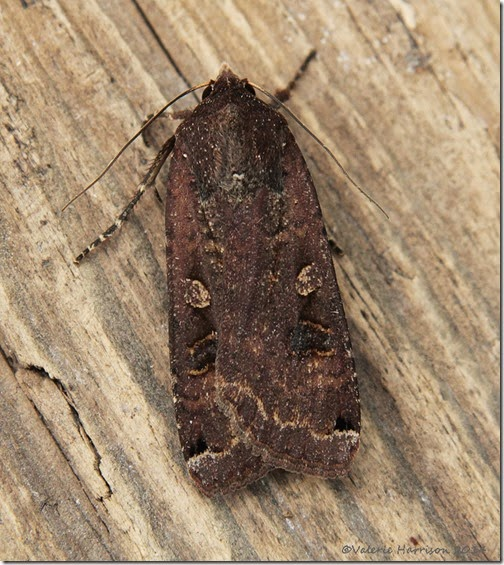large-yellow-underwing1