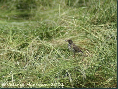 17-meadow-pipit