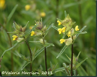 1-yellow-rattle