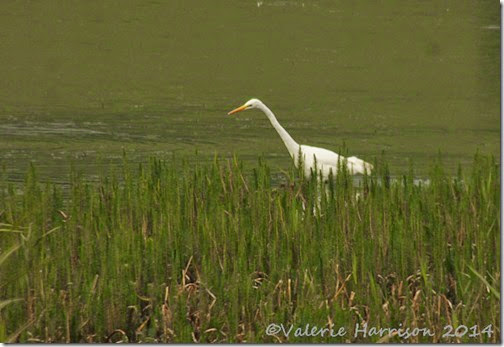 55-great-white-egret