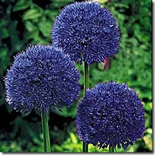 Allium_PersianBlue