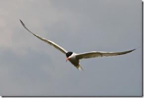 10 tern